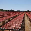 Gemischtes Tomatensauce (10+10) rot und gelb aus Apulien