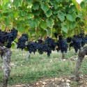 Vino Bianco DOP Leverano bottiglia 0,75 L Salento