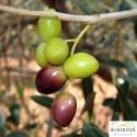 Lattina 1 L Olio Extravergine Boschino fruttato