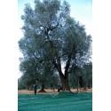Single dose pocket 100 ml Santa Lucia Natives Olivenöl extra ausgeglichen