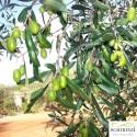 Lattina 5 L Olio Extravergine Boschino fruttato non filtrato